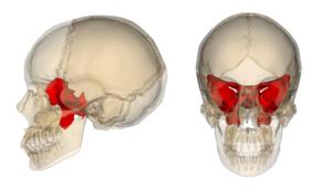 Sphenoid_bone